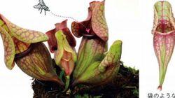 食虫植物の袋状の葉ができる仕組み発見