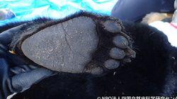絶滅寸前の四国のツキノワグマ 仔グマの順調な成長を確認