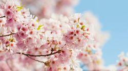 2014年 桜の開花予想(吉田友海)