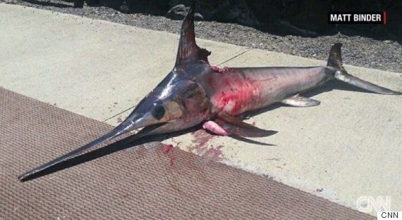 メカジキが一突き ハワイの漁師が命を落とす