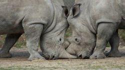 フランスの動物園でシロサイが殺される 密猟者の狙いは「角」だった