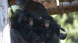 チンパンジーは母以外も子育てに協力する(研究結果)