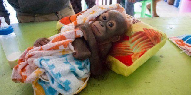ボルネオの赤ちゃんオランウータン、ハンターに撃たれて置き去りにされる