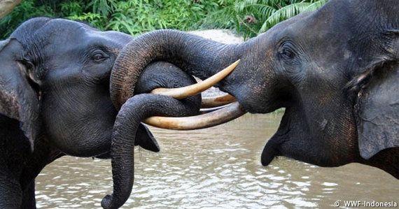 スマトラで象牙の密猟者が逮捕される