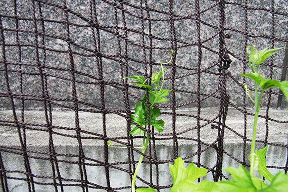 マンションで緑のカーテン:ゴーヤーやへちまの育て方
