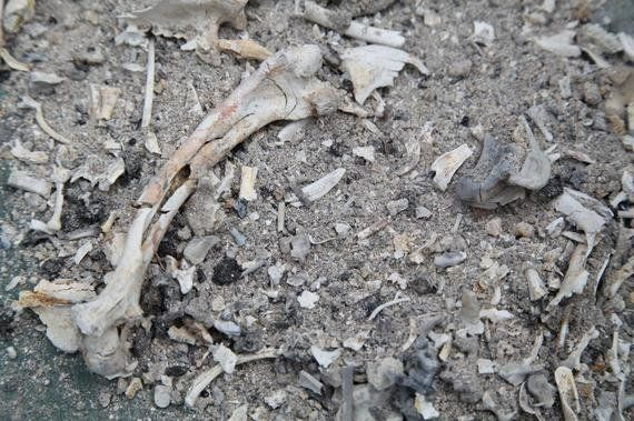 殺処分された動物の骨に咲く花