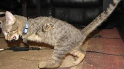 前脚を失った子猫、二足歩行で元気一杯に生きる