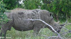 南アフリカのサイの密猟、前年を下回るも依然1000頭越え