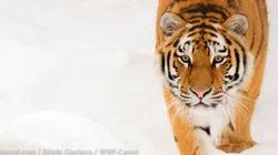 シベリアトラの増加を確認!推定個体数は最大で540頭