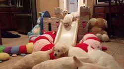 レトリーバーの赤ちゃんたちが、あなたの心に飛び込んでくる(動画)