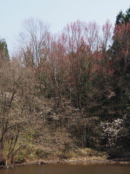 「ハナノキの里」に迫る危機/日本最大の自生地をリニア接続道路が破壊する!