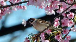 桜開花予想、東京や大阪の見頃は4月はじめ