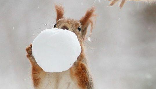 雪玉で遊ぶリスを見たら、まだ冬でいいやと思うにちがいない