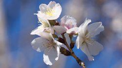 【桜の開花予想】東京では4月2日に満開、4月最初の週末からお花見シーズンに