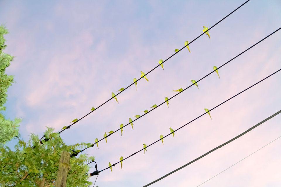 インコが東京の空をライムに染める これは合成なんかじゃない