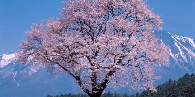 「桜ソングランキング2014」春に聴きたい曲、3年連続「さくら(独唱)」が1位に