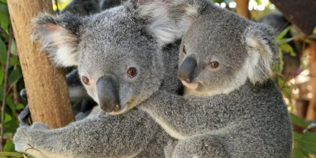 Koala Phascolarctos cinereus Queensland . Australia Order: Diprotodontia Family:
