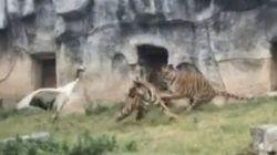 荒れ狂う3頭の虎、鶴に襲いかかる しかし鶴は千年(動画)