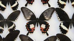 チョウの擬態を担う単一遺伝子
