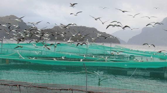 【追記】日本のスーパーで売られているチリ産の鮭を地元の人が食べない理由