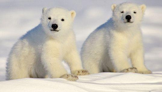 「国際ホッキョクグマの日」って知ってる? 地球温暖化の象徴を守るために知っておきたいこと