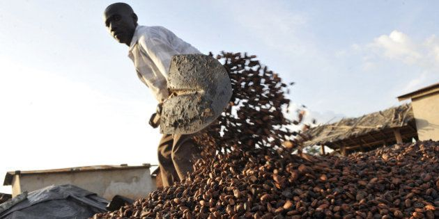 TO GO WITH AFP STORY BY CHRISTOPHE KOFFI A Baoule farmer gathers cocoa beans on November 17, 2010 in...