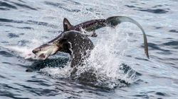 アシカちゃん、海の王者サメと死闘(画像)