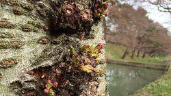 桜の開花、青森で記録的な早さになる予想 弘前公園ではいつ見られる?
