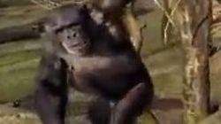 暴虐の限りを尽くすチンパンジー、接近したドローンに一撃(動画)