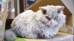 猫のアルバート、いつも怒っているような顔でハートをわしづかみ