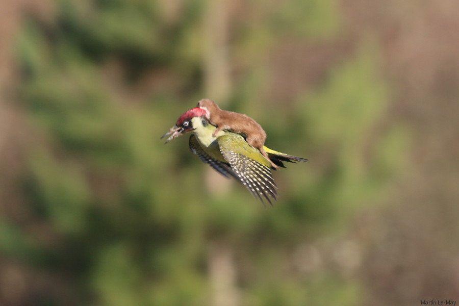 イタチは飛んだ。キツツキに乗って(画像)