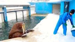 北海道「おたる水族館」のセイウチの除雪作業が豪快すぎる【動画】