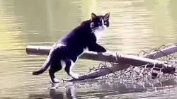 猫は、どうしても池を渡りたかった(動画)