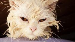 猫、お風呂に入ったら大変なことに......【画像】