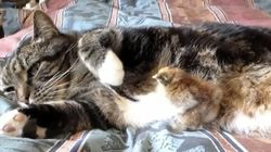 ネコをつっつく勇敢なひよこ【動画】