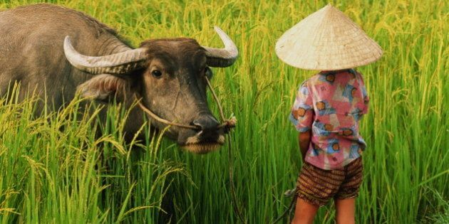 Vietnam, child in rice field with water