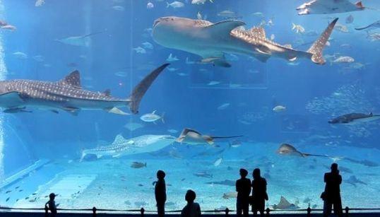 美ら海水族館のマンタ、ジンベイザメがゆらゆら、ゆーらゆら【動画】