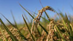 TPPで日本の米は壊滅するのか?