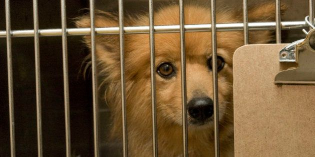 PORT WASHINGTON, NY - AUGUST 10: A puppy mill dog at North Shore Animal League America on August 10,...