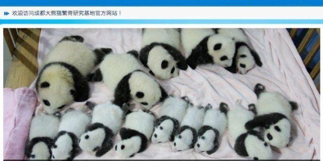 赤ちゃんパンダ14匹、中国でお披露目