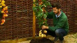 ジャガイモも同時栽培できるトマト「トムテト」