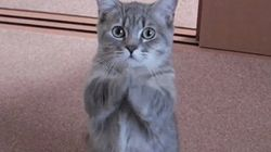 「ごはん、ちょーだい」子猫が手を合わせてお願いするなんて可愛いすぎる【動画】