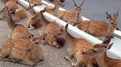 奈良の鹿たちが公道にわらわら出てきて夕涼みしている【画像】