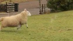 この羊、自分のこと犬だと思ってるよ(動画)