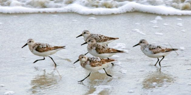 A group of sandpipers running together along the sea shore. Racing, competition, team, on the