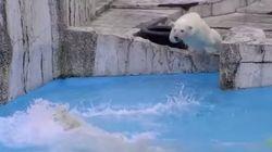 夏本番、シロクマ親子のプール飛び込み練習が微笑ましい【動画】