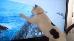 「あまちゃん」が始まるとテレビに飛びかかっちゃう猫【動画】