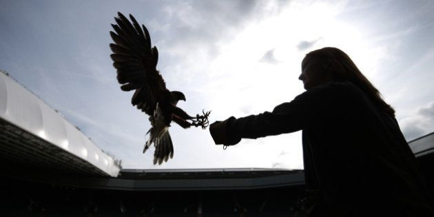 LONDON, ENGLAND - JULY 01: Imogen Davies catches Rufus, a Harris hawk, in the stands above Centre Court...