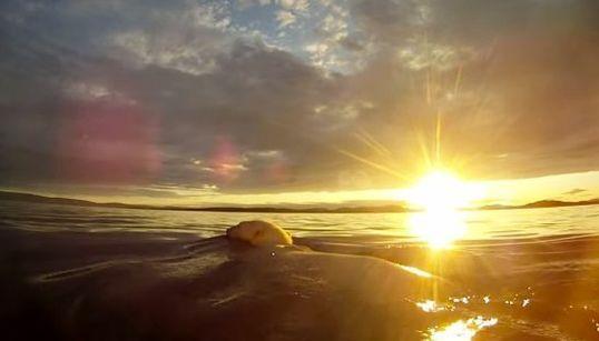 ホッキョクグマ一家、100マイルを泳ぐ。生きるため、新たな地へ【動画】