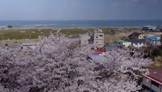 震災から3年。人はいなくとも桜は咲く 福島・富岡町のすがた【動画】